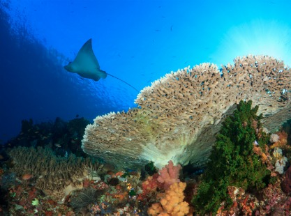 Indonesia, Castle and Crystal Rocks, Eagle Ray by a giant coral table, Komodo, image,