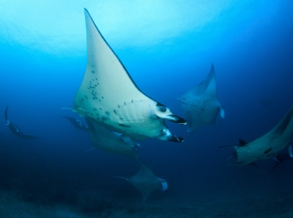 Indonesia, Manta Alley, Fever of Manta Rays, image,
