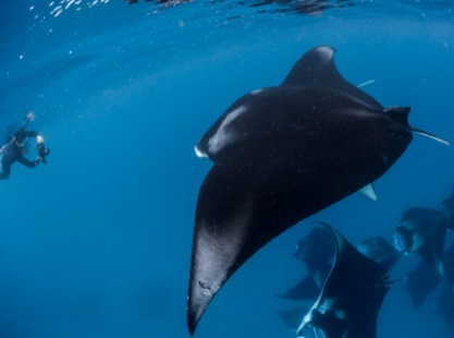 Indonesia, Mansuar Island, Manta rays, gliding to scuba diver, image,