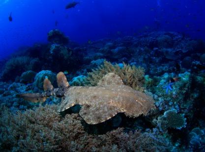Indonesia, Kri Island, Wobbegong, image,