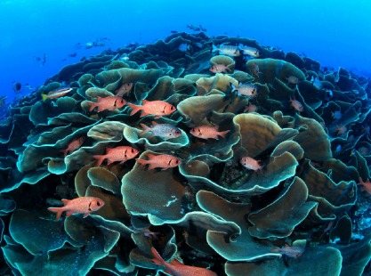 Ulong Channel, Lettuce Coral, image,