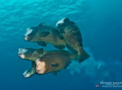 Shark City, Bumphead fish, image