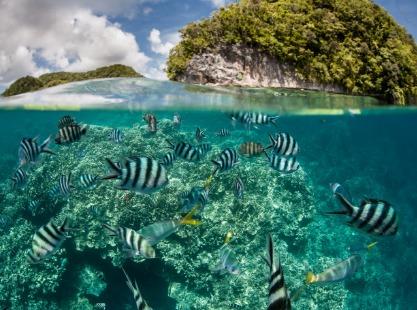 Iro Maru, Malakal, Coral school fish, image,