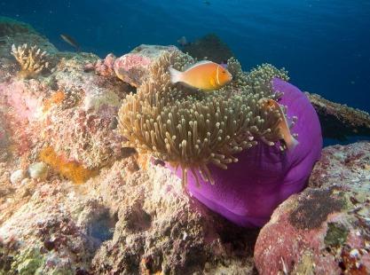 New Drop Off, Ngemelis Island,large anemones, image,