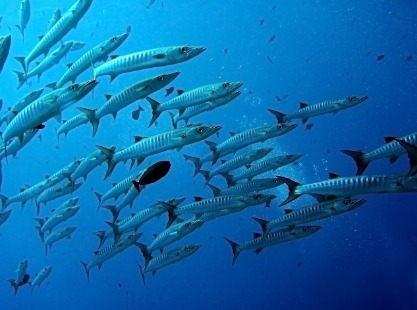 Big Drop Off, Ngemelis Island, reef fish, image,