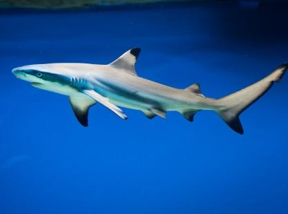 German Channel, Blacktip shark, image,