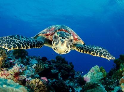 Barnam's Wall, Hawksbill Sea Turtle, Image,