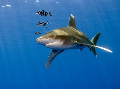 Peleliu Express, Whitetip shark, image,