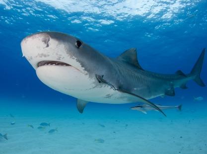 Peleliu Wall, Tiger Shark, image,