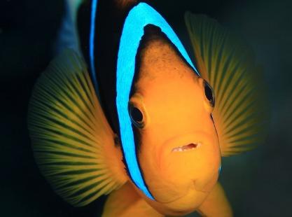 Devilfish City, Anemone fish, image,