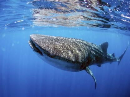 Philippines, Malapascua and Visaya, Reef Sharks, image,