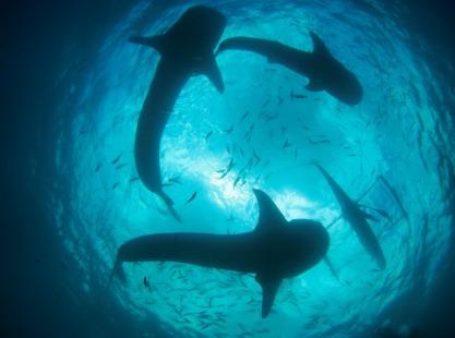 Philippines, Sumilon Island, Sharks, image,