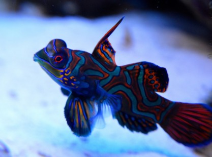 Philippines, Apo Island, Mandarin Fish, image,