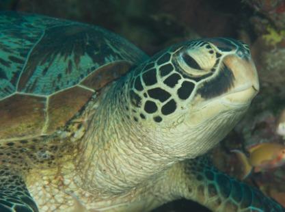 Philippines, Cabilao Island, Green Turtle, image,