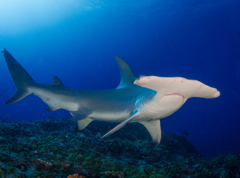 Hammerhead shark in French Polynesia
