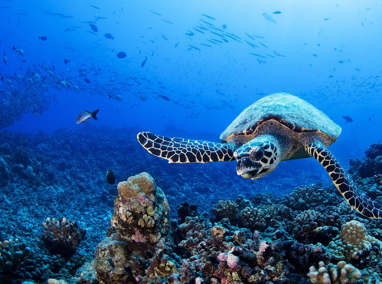 Turtle in French Polynesia