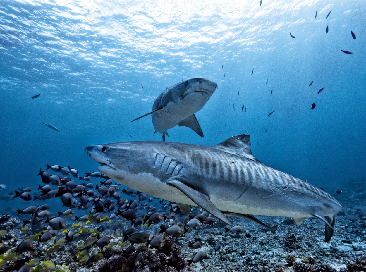 Tiger sharks in French Polynesia