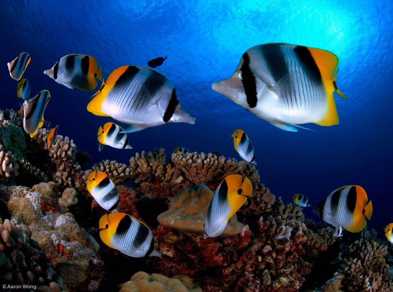 Butterfly fish in French Polynesia by Aaron Wong
