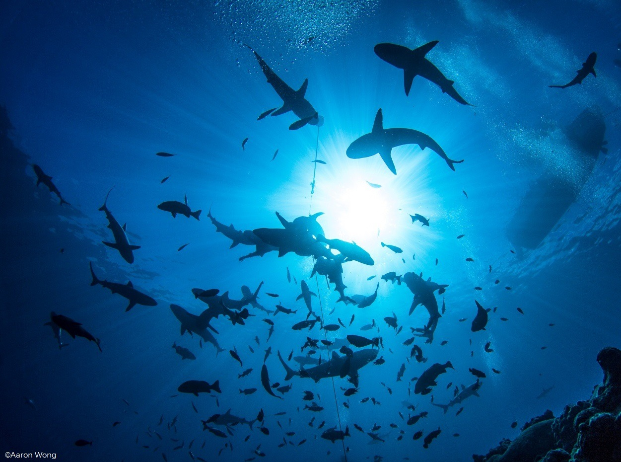 Grey reef sharks in French Polynesia by Aaron Wong