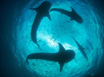 Philippines, Tubbataha Delsan, Wreck, South Atoll,  Sharks, image,