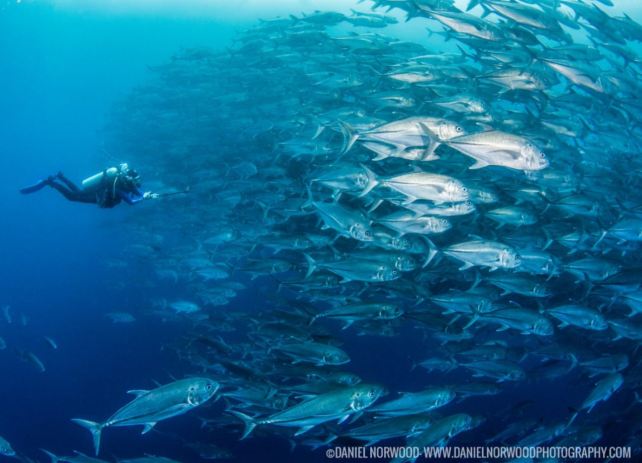 Schooling fish in the Galapagos Islands