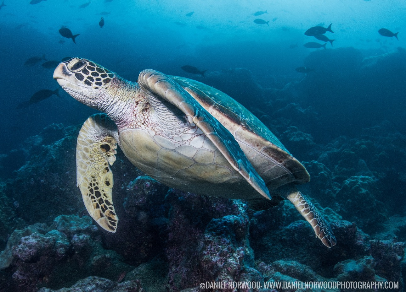 Turtle at the Galapagos Islands
