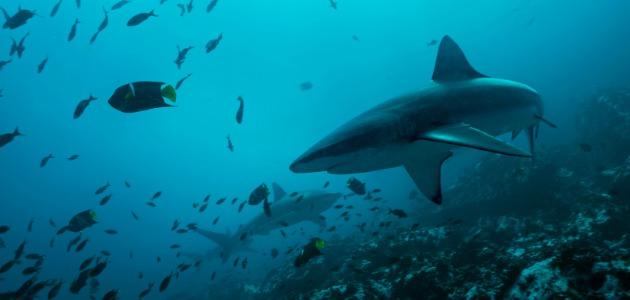 Galapagos Islands shark