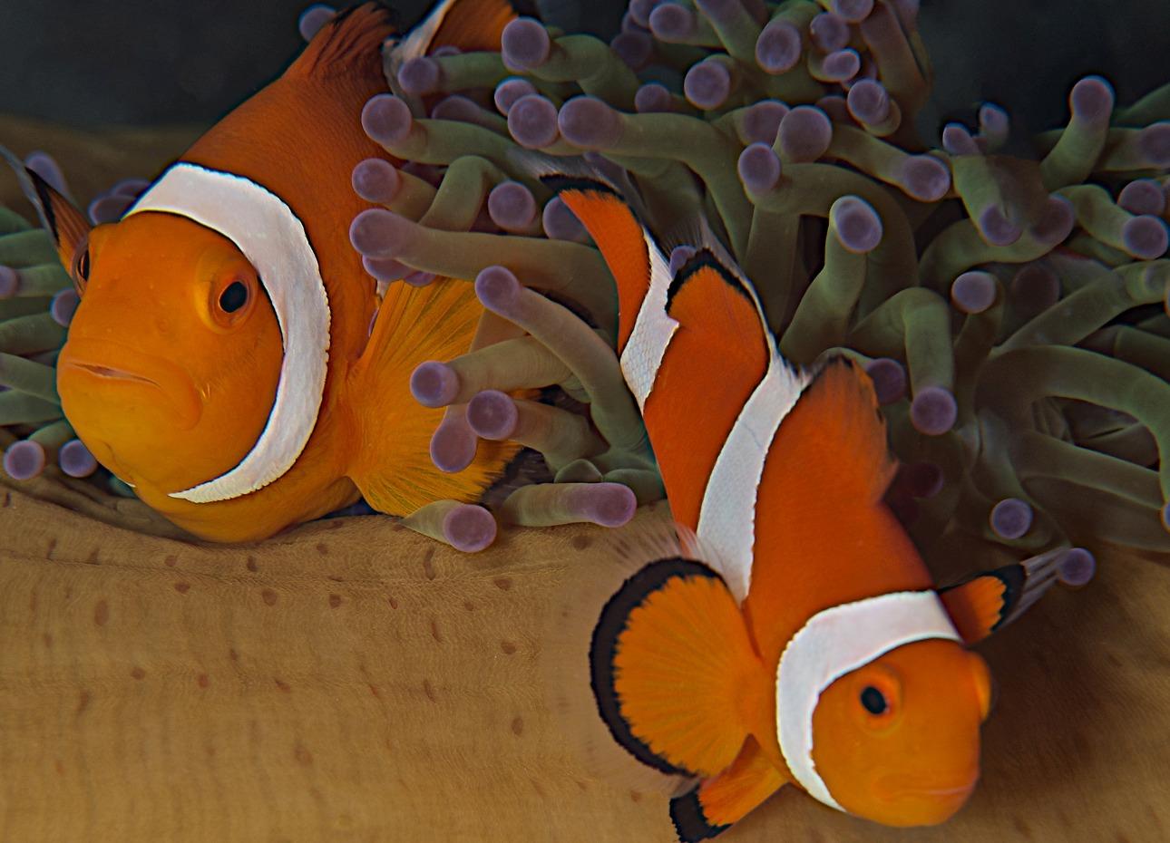 Philippines, Moalboal Magic Island, Dive Resort, Clownfish, image,