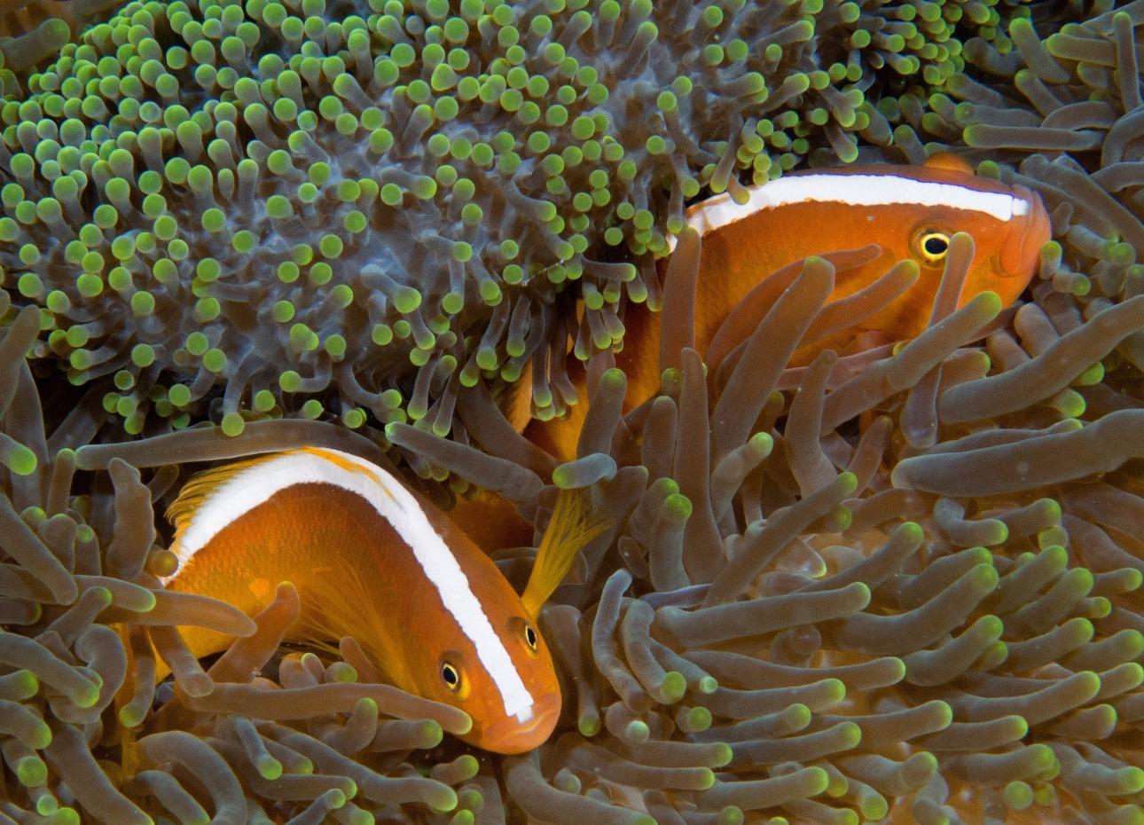 hilippines, Bohol, Magic Oceans Dive Resort, Reef Fish, image
