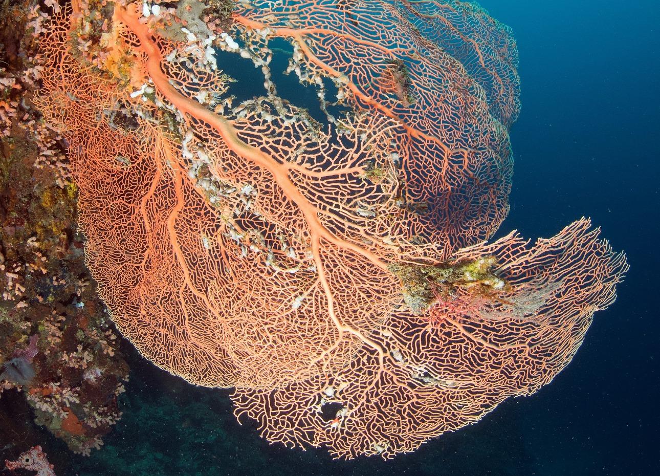 Philippines, Bohol, Magic Oceans Dive Resort, Corals, image