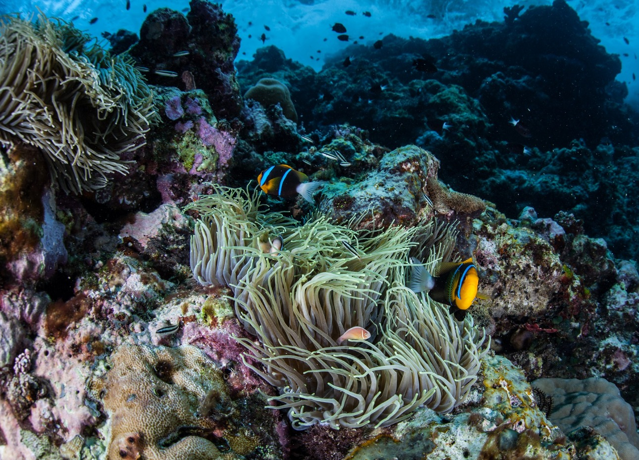 Solomon Islands, Waving Coral and Clownfish, image