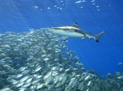 M/V Solomons PNG Master, Reef Sharks, image