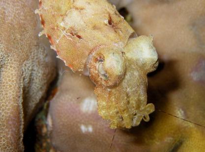 M/V Solomons PNG Master, Cuttlefish, image