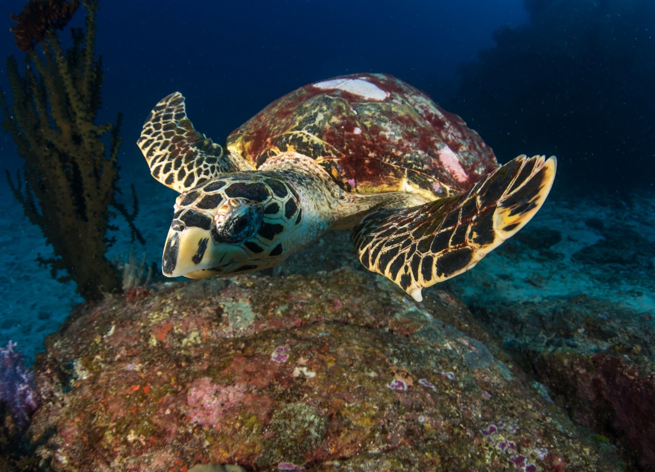 Underwater image of a turtle exploring the reefs