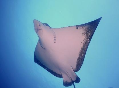 Solomon Islands, Eagle Ray image