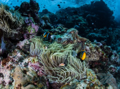 Solomon Islands, Soft Corals, image
