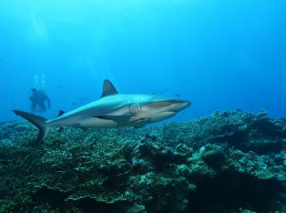 Solomon Islands, Fathers Reef Dive,image