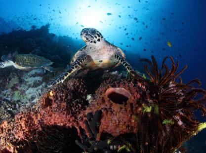 M/V Papa New Guinea, Solomons,Turtle, image
