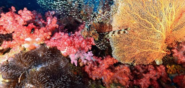 Brightly coloured fan corals, thailand