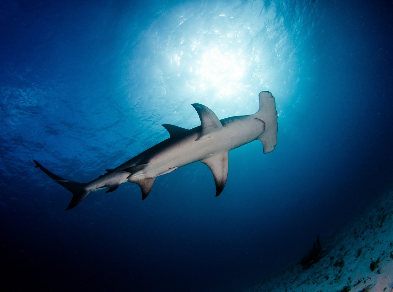 Hammerhead shark in Egypt, Red Sea