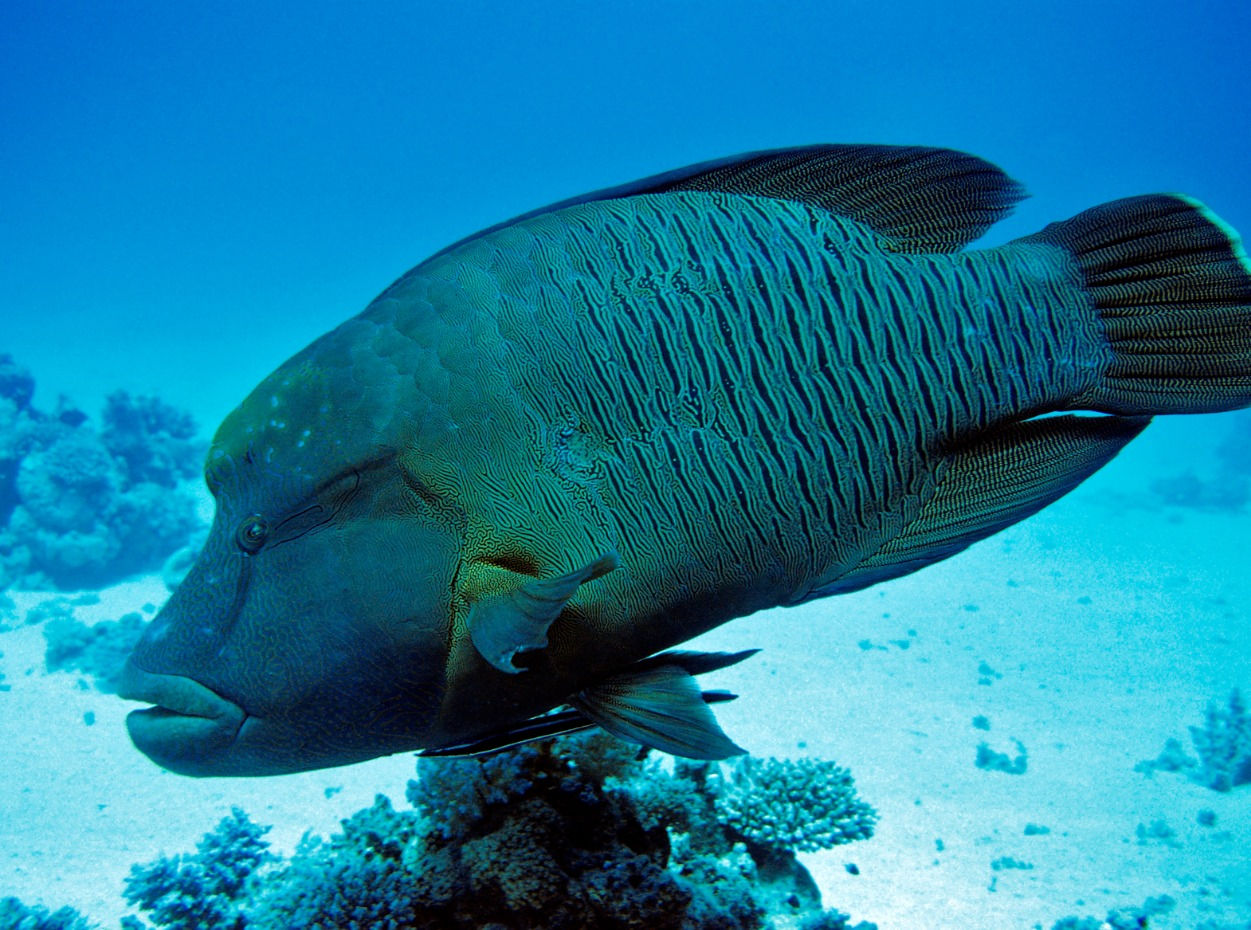 Napoleon wrasse in Egypt, Red Sea