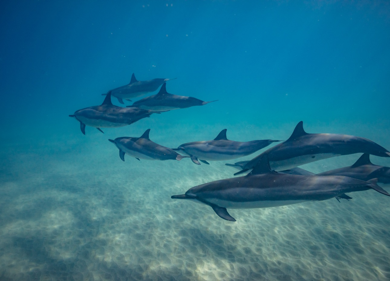 Pod of dolphins swimming by, Sri Lanka