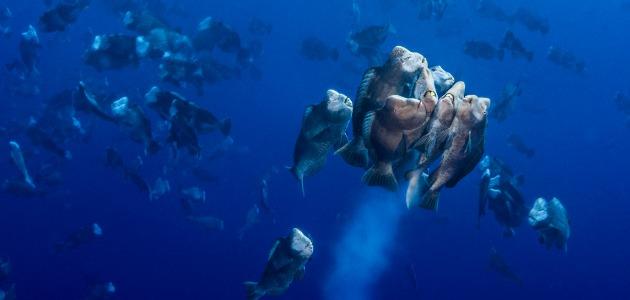 Palau spawning