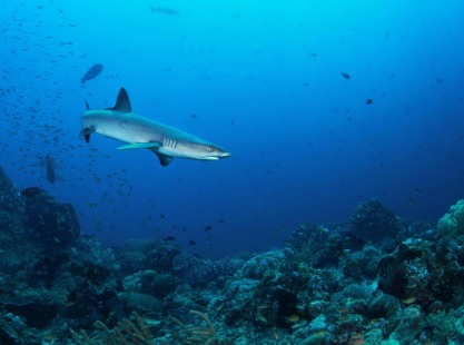 Reef Shark Indonesia