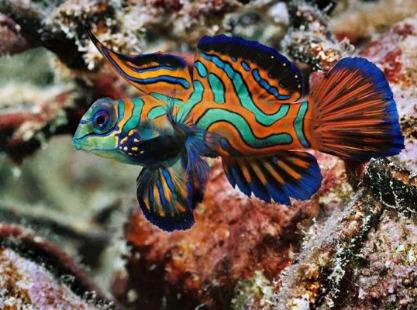 Banda Jetty Mandarin fish