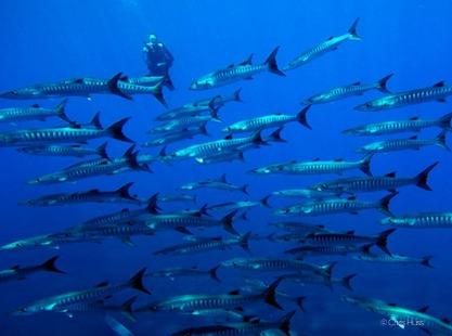 Schooling Barracuda with diver
