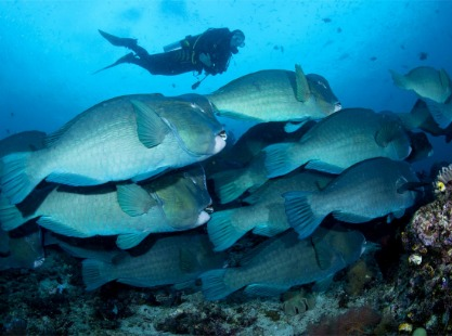Diver and group of bumphead parrotfish