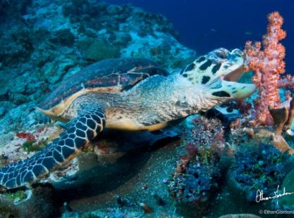 Turtle feeding on soft coral