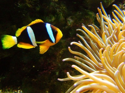 Anemone and Clark's anemone fish