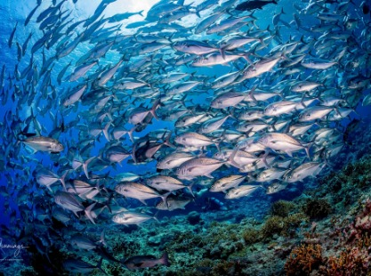 School of Jacks over a coral reef